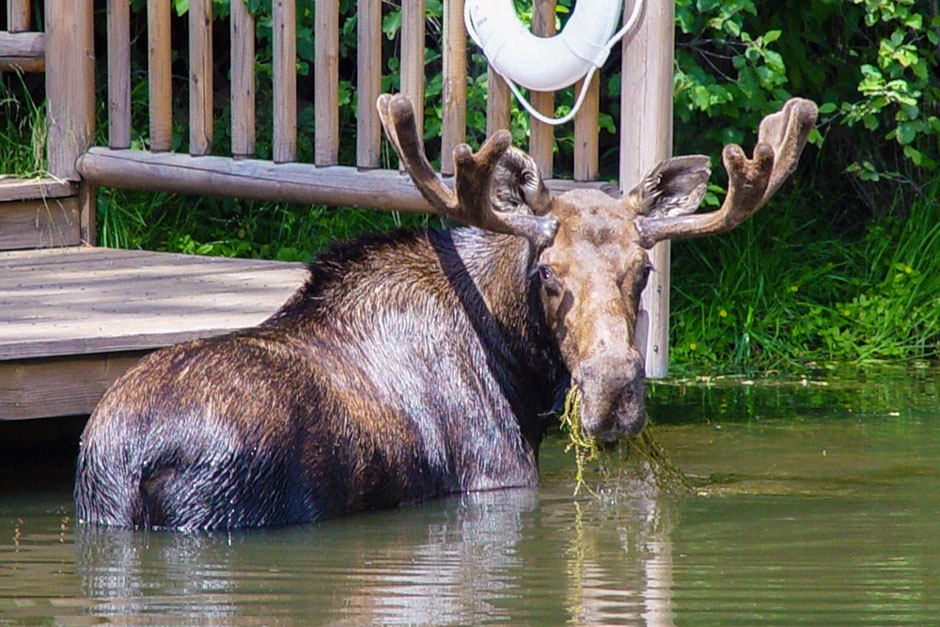 moose with antlers eating grass in pond montana