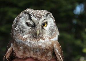 boreal owl winking in bitterroot mountain range montana