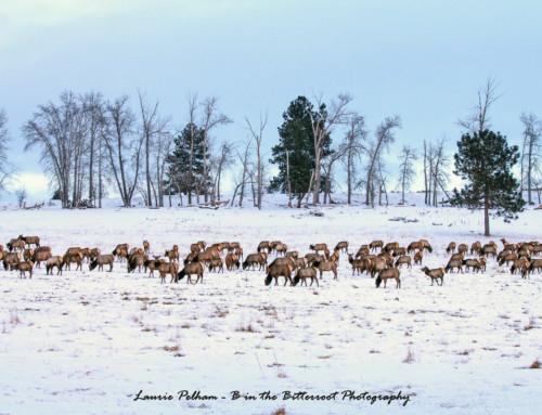 Elk on a winter pasture