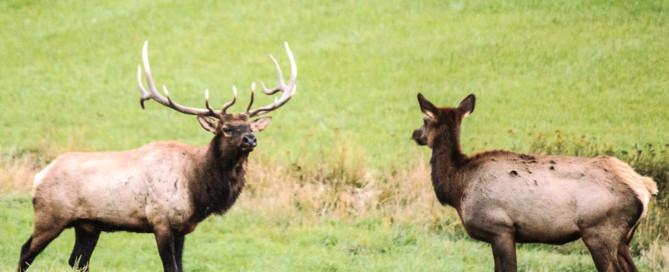 bull elk and cow elk in field